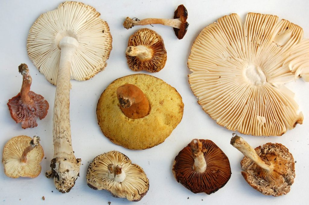 Gills on mushrooms that hold spores