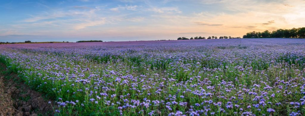 Phacelia green manure crop attracts insects and bees