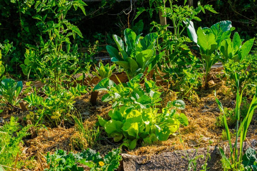 A permaculture garden using deep mulch gardening