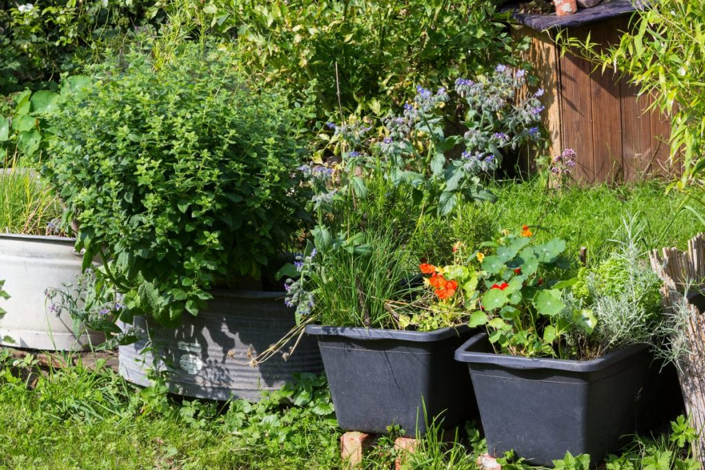 A container herb garden in recycles metal tubs and plastic bins
