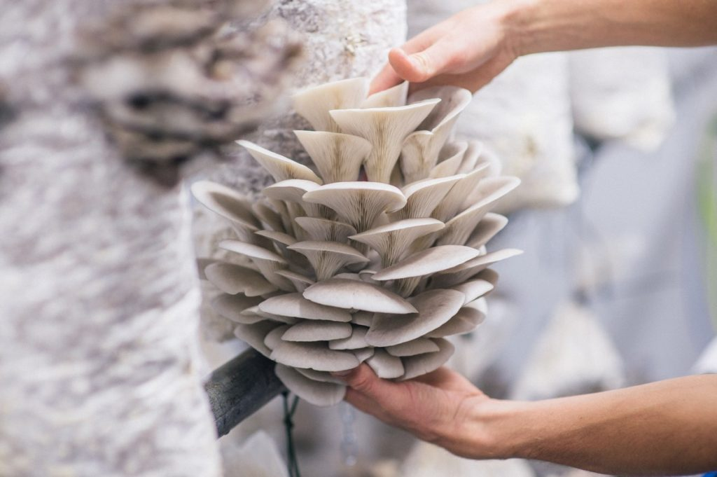 You can create a profitable business with our mushroom growing business plan