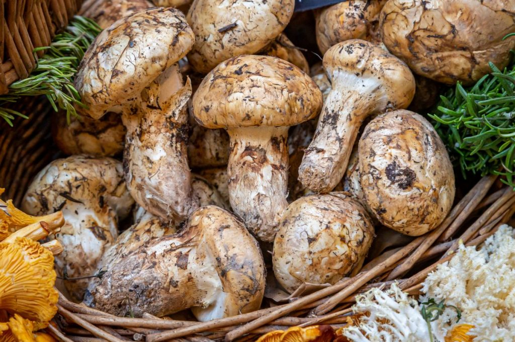 Matsutake mushrooms are one of the most expensive mushrooms