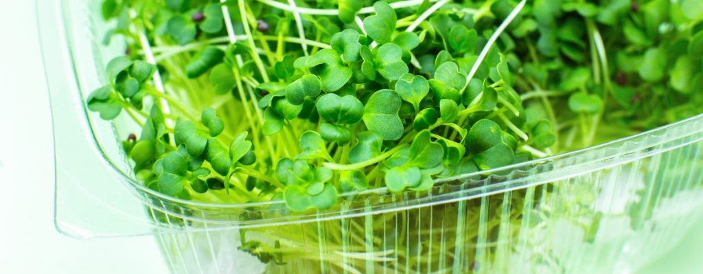 Broccoli microgreens in a container