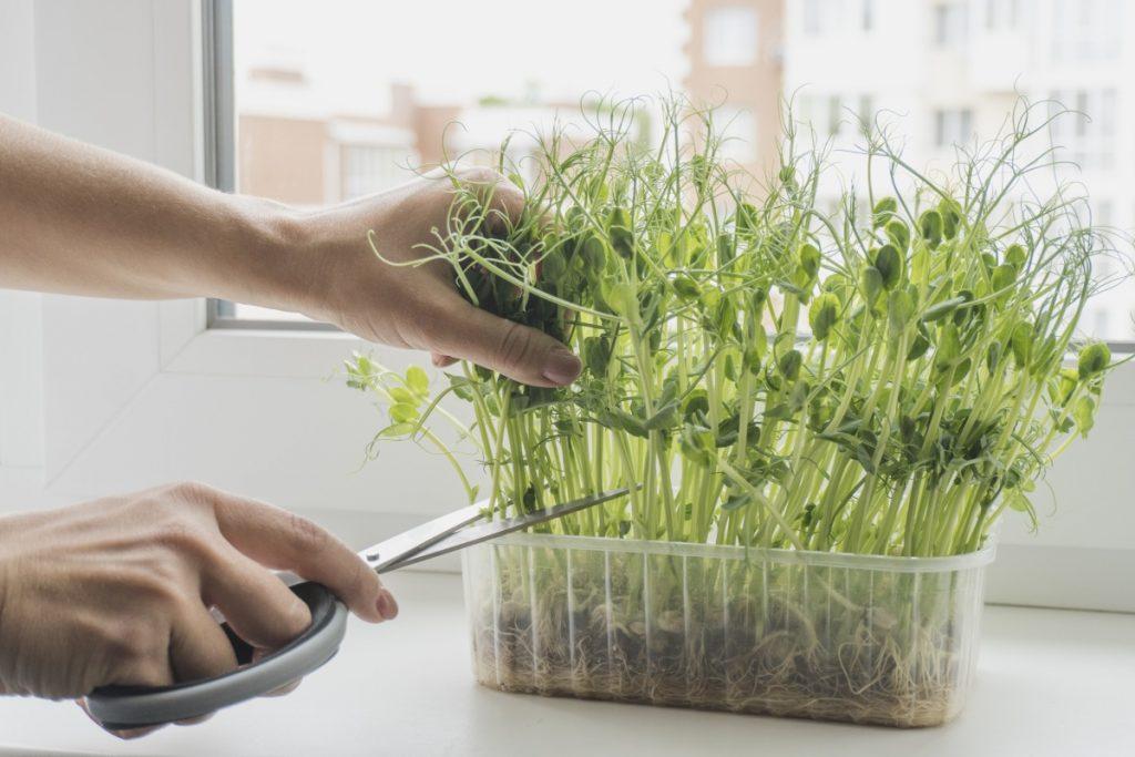 Pea microgreens can regrow after cutting