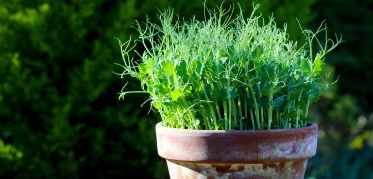 microgreens in the garden
