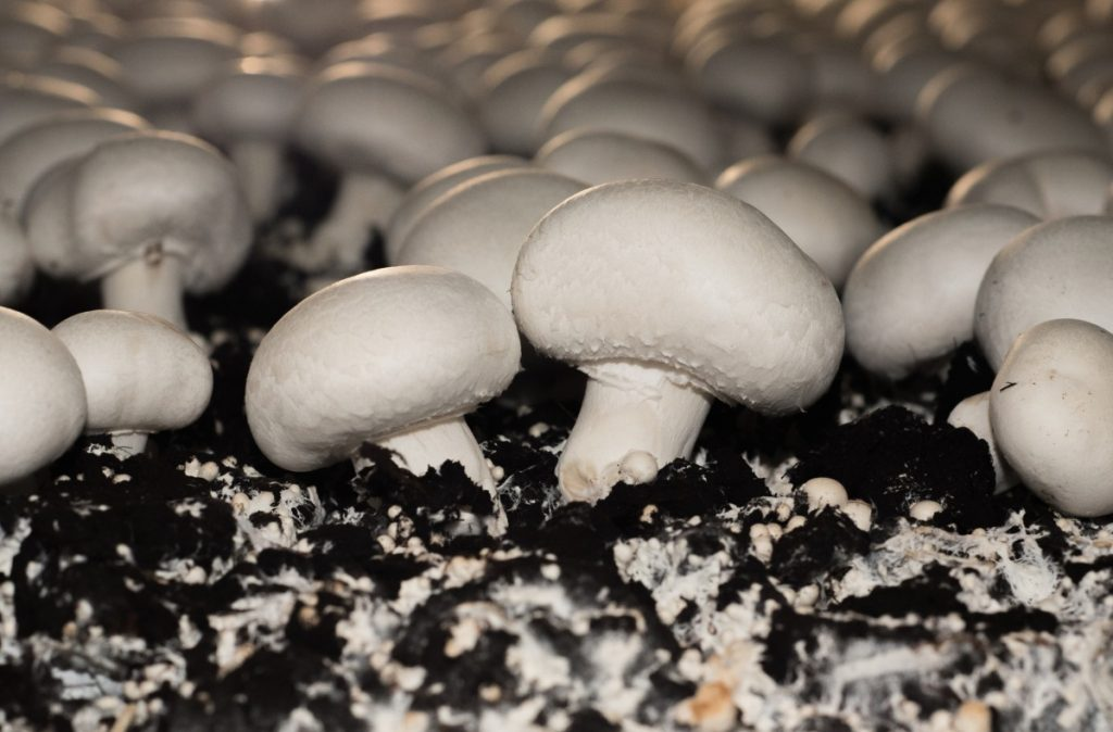 White button mushrooms growing in compost.