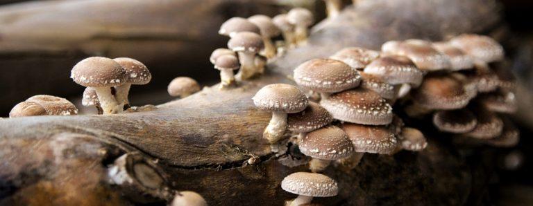 What do mushrooms ea? Shiitajke mushrooms growing on a decomposing log.